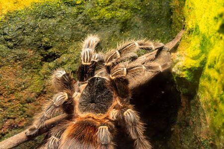 Close up of a bahia scarlet tarantula (lasiodora klugi) in captivity 写真素材
