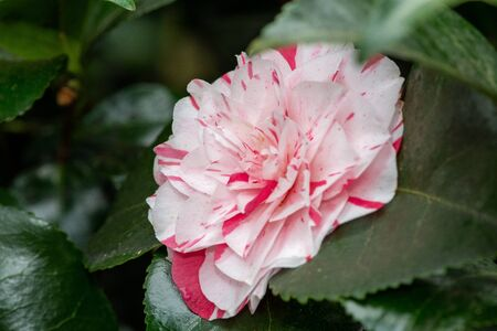 Close up of a common camelia (camellia japnica) flower in bloom