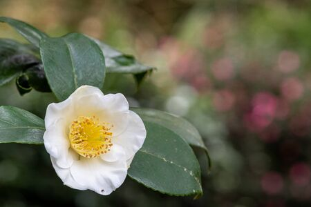 Close up of a camellia sinensis flower in bloom