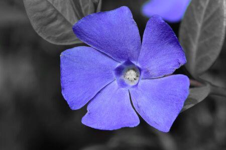 Colorsplash of lesser periwinkle flowers (vinca minor) in bloom