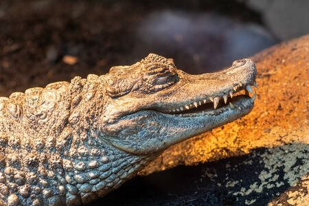 Close up portrait of a spectacled caiman (caiman crocodilus) in captivity 写真素材