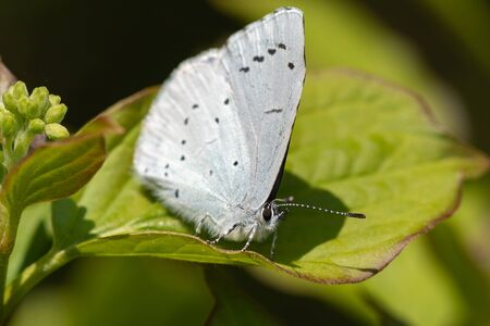 Macro shot of a holly blue (celastrina argiolus) butterfly perched on a leaf