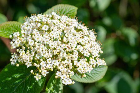 Close up of white flowers on a viburnum shrub 写真素材