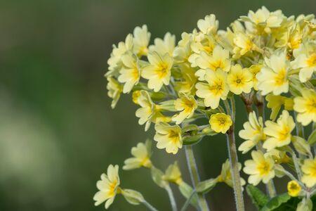 Close up of oxlip (primula elatior) flowers in bloom