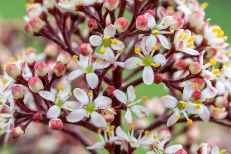 Close up of Japanese skimmia (skimmia japonica) flowers in bloom 写真素材