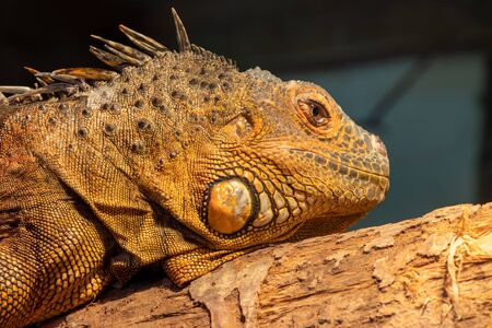 Close up portrait of an iguana in captivity 写真素材