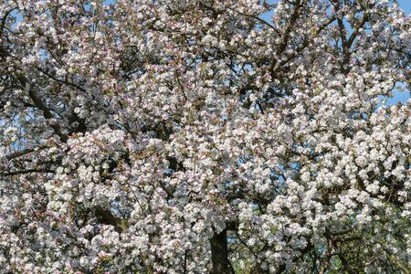 Close up of an old fashioned apple tree in blossom 写真素材
