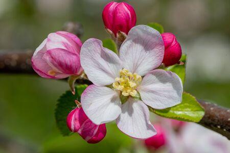 Macro shot of apple blossom in bloom 写真素材