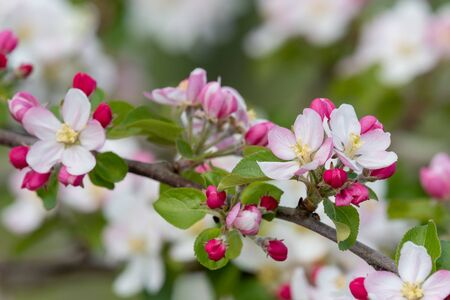Close up of a branch of apple blossom 写真素材