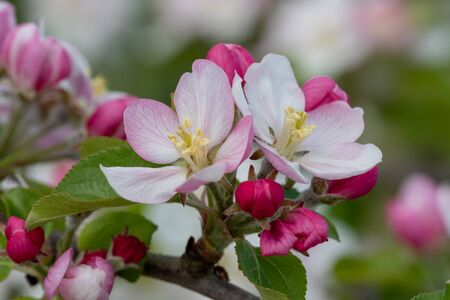 Macro shot of apple blossom in bloom