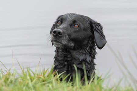 Head shot of a wet black Labrador in the water 写真素材