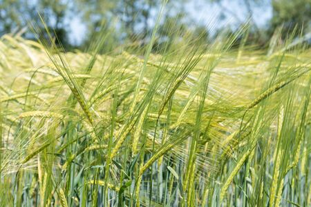 Close up of a field of barley in ear