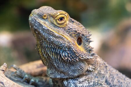 Head shot of a central bearded dragon (pagona vitticeps) in captivity