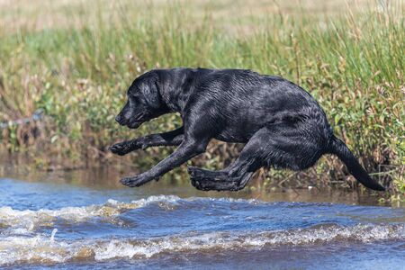 Action shot of a wet black Labrador retriever jumping into the water