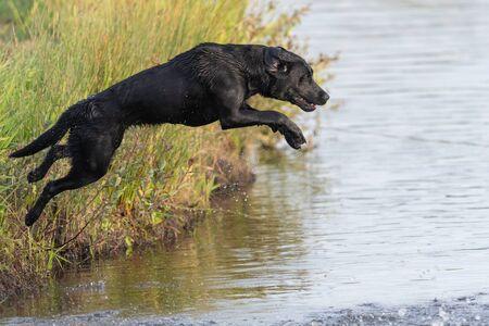 Portrait of a pedigree black Labrador jumping into the water 免版税图像