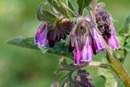 Macro shot of common comfrey (symphytum officinale) in bloom Imagens