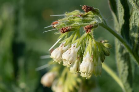 Close up of common comfrey (symphytum officinale) flowers in bloom