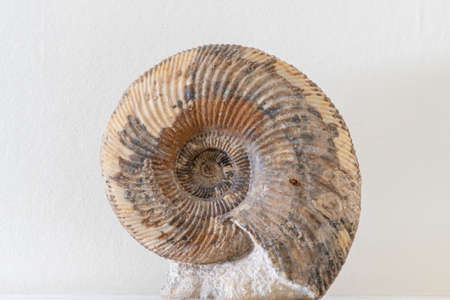 Close up of an ammonite fossil