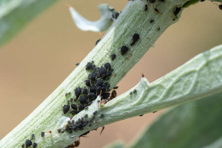Macro shot of a blackfly infestation on a plant in the garden