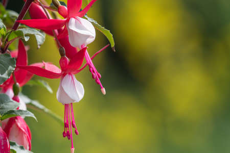Close up of pink and white fuchsias in bloom 免版税图像