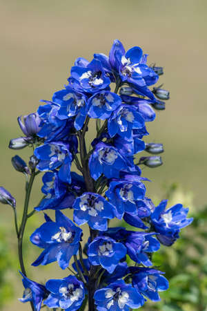 Close up of a blue delphinium flower in bloom