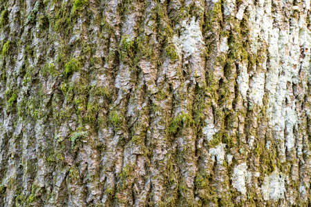 Close up of bark on a common ash (fraxinus excelsior) tree