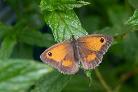 Close up of a gatekeeper (pyronia tithonus) buttefly Standard-Bild