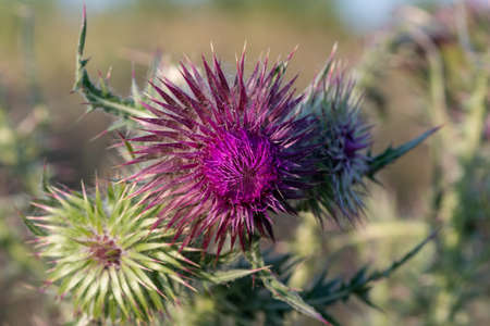 Close up of a thistle flower head