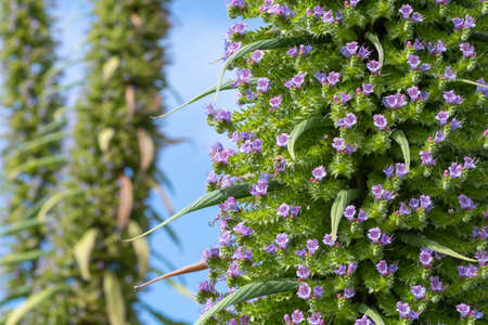 Close up of a pine echium (echium pininana) plant in bloom