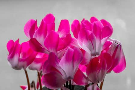 Colorsplash of cyclamen persicum flowers in bloom