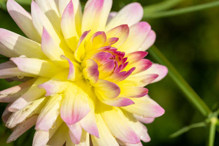 Close up of a pink and yellow dahlia in bloom