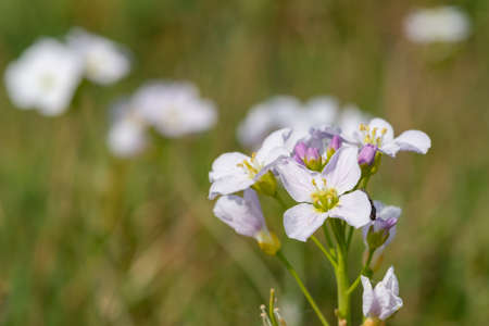 Close up of a cuckooflower (cardamine pratensis) in bloom