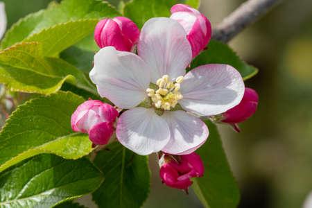 Macro shot of apple blossom in bloom