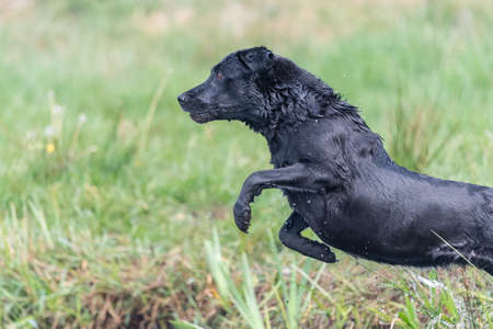 Action shot of a wet black Labrador jumping into the water