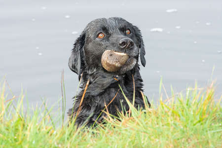 Head shot of a black Labrador in the water with a ball in it's mouth 版權商用圖片