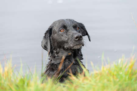 Head shot of a black Labrador in the water looking expectantly
