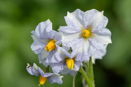 Close up of potato flowers in bloom