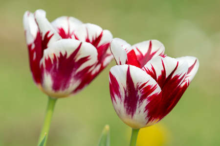 Close up of red and white tulips in bloom 版權商用圖片
