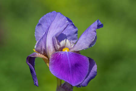 Close up of a purple iris flower with a green background