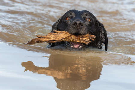 Close up of a black Labrador swimming in the water with a stick in it's mouth