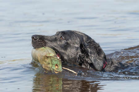 Close up of a pedigree black Labrador retrieving a dummy from the water 版權商用圖片