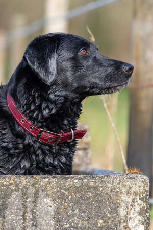 Close up of a wet black Labrador standing in a water trough