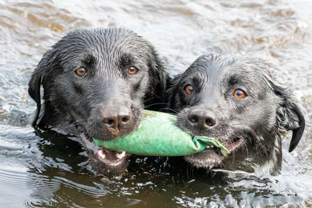 Close up of two wet Black Labradors retrieving a training dummy from the water together