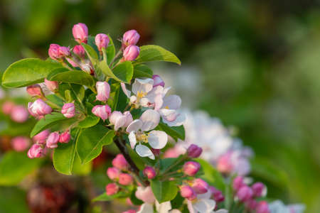 Close up of malus blossom in bloom 写真素材