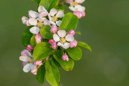 Close up of malus blossom in bloom 版權商用圖片