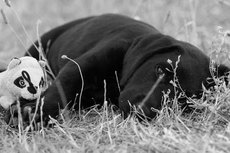 Cute portrait of an 8 week old black Labrador puppy lying on the grass with it's favourite toy