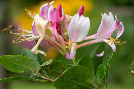 Close up of a common honeysuckle (lonicera periclymenum) flower in bloom
