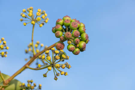 Close up of unripe common ivy (hedera helix) berries with a sky background