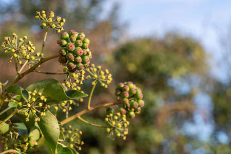 Close up of unripe common ivy (hedera helix) berries