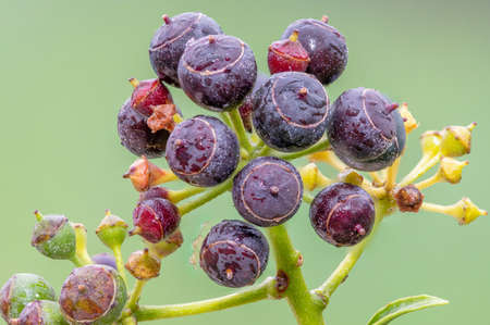 Close up of ripe common ivy (hedera helix) berries